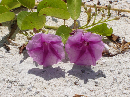 Puerto Cancun: Morning Glories